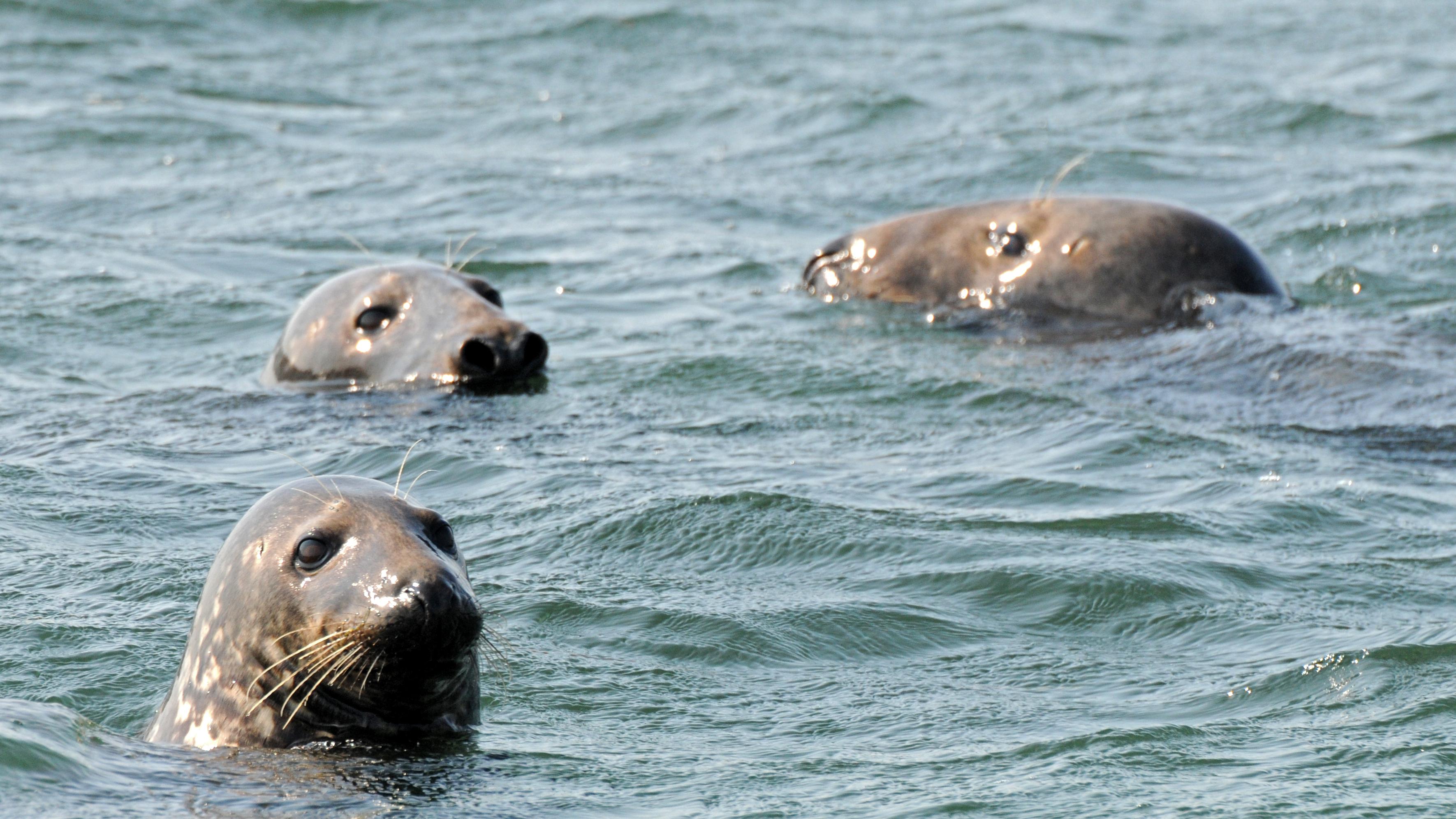 Seals_Doucette_WHOI