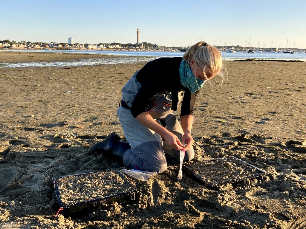 13. Harriet Booth places the small surf clams into the boxes. The next step is to put protective mesh netting over the top to protect them from birds, crabs, and carnivorous snails.