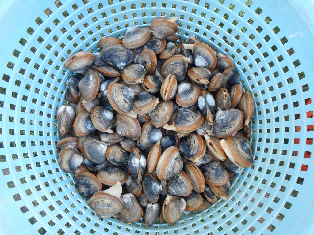 15. This is the goal of the project – to assist the shellfish farmers of Massachusetts to harvest beautiful, tasty, nutritious shellfish from their grants.