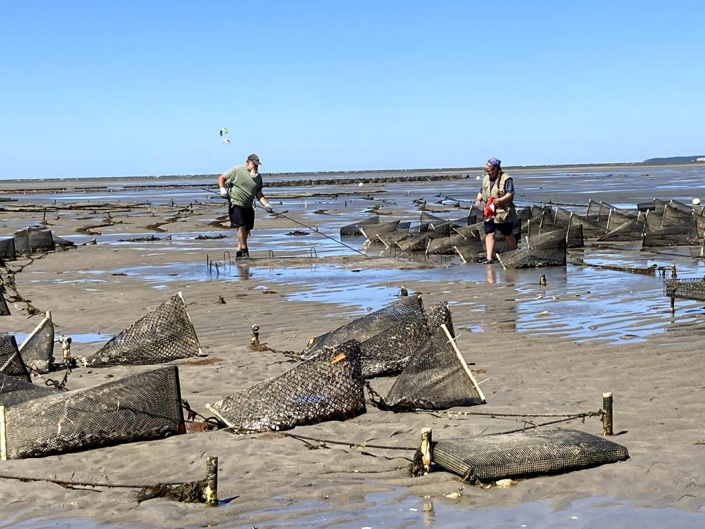7. Shellfish farmers Kirsten Friedrich and Craig Poosikian are also planting surf clams under nets, similar to how quahogs are grown.